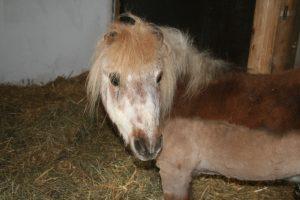 Altes Pony, über 40 Jahre alt