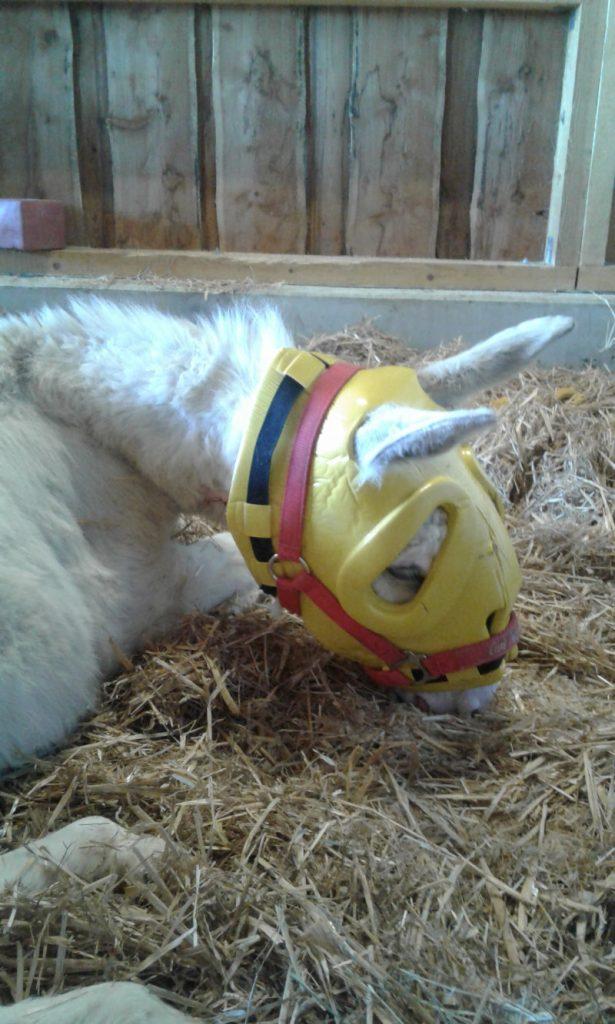 Esel mit Kopfschutz nach Kastration