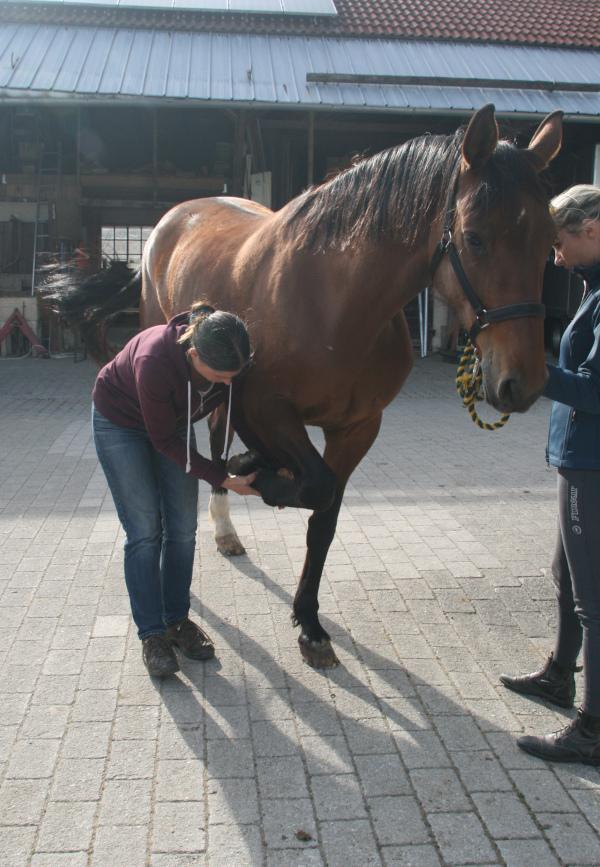 Orthopädische Untersuchung am Pferd